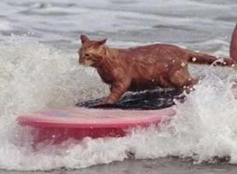 Top-10-Amazing-Images-of-Surfing-Cats-7