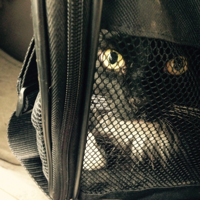 Sylveser in cat carrier