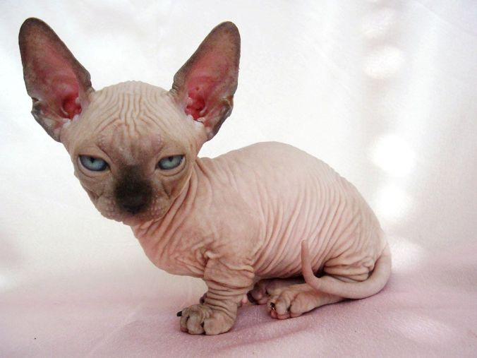 sphynx-cat-kittens-wallpaper-3